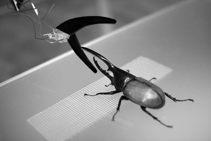 Beetle_Wrestler_1_gs
